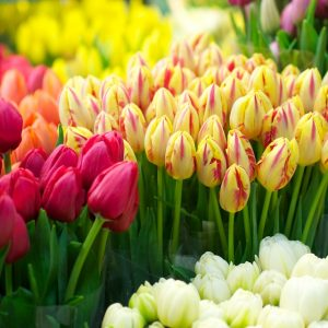 Fresh Cuts Tulips WEBCODE: 1735-01