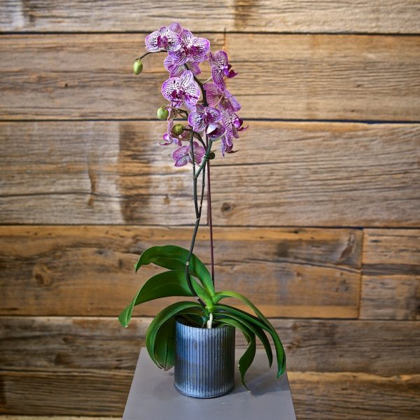 Medium Orchid Arrangement
