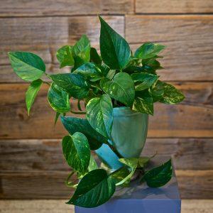 Pothos Ivy Plant