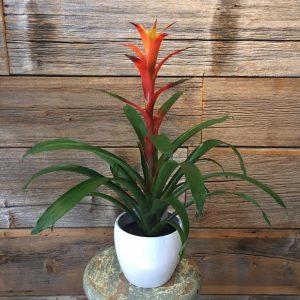 Colourful Bromeliad Plant 3324-01