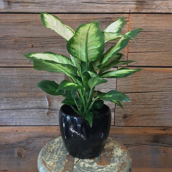 Dieffienbachia Plant