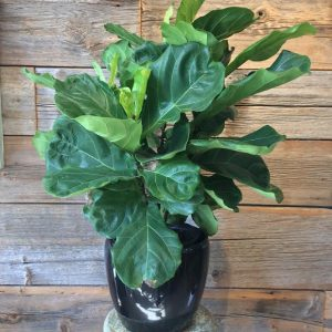Fiddle Leaf Fig Plant (Ficus Lyrata) 3491-04