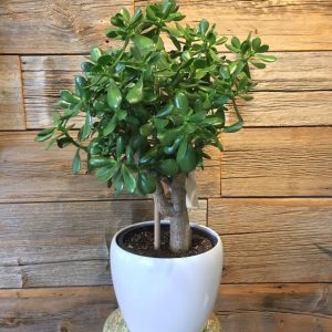 Jade Plant 3592-02