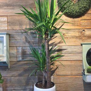 Yucca Plant 3592-01