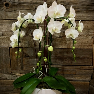 Cascading Triple Phalaenopsis Orchid Planter