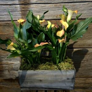 Double Calla Lily Box