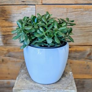 8″ Jade Plant