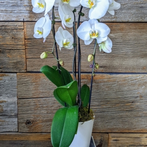 Double Stemmed Phalaenopsis Orchid